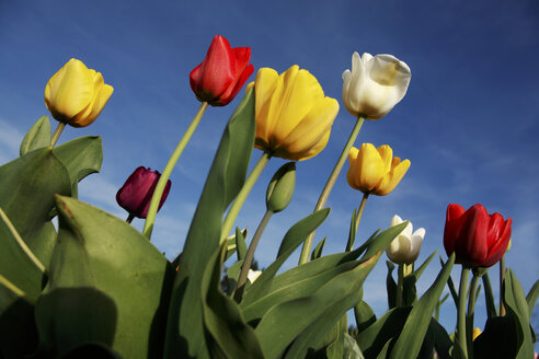 Tulips (tulipa) blossoming - RDF00278