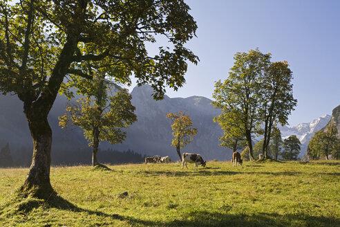 Austria, Tirol, Karwendel, Field maple trees, cows grazing behind - FOF00625