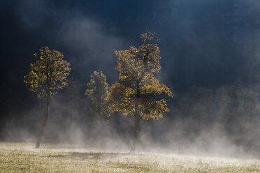 Austria, Tirol, Karwendel, Field maple tree in early morning mist - FOF00598