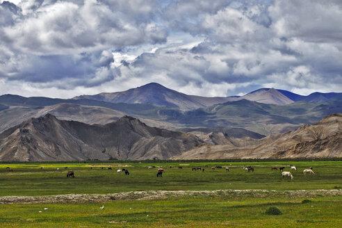 China, Tibet, Gyantse, Horses in field - MB00784