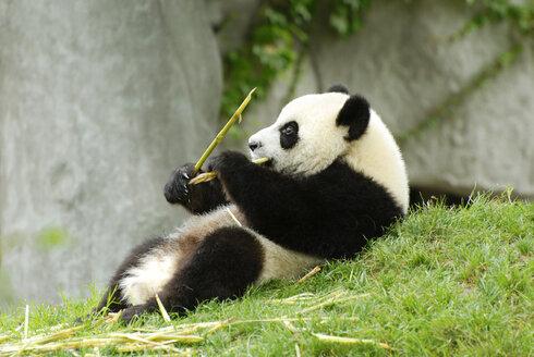 China, Panda (Ailuropoda melanoleuca) eating bamboo - MB00772