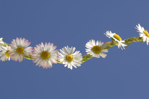 Daisy chain (Bellis perennis) - CRF01484