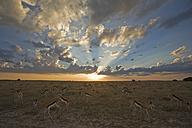 Africa, Botswana, Springbok herd (Antidorcas marsupialis) - FOF00705