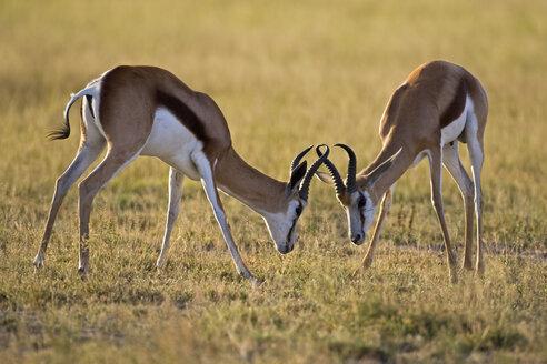 Africa, Botswana, Two springbok (Antidorcas marsupialis) fighting - FOF00696