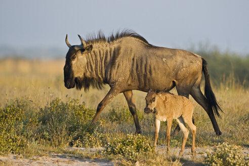 Africa, Botswana, Wildebeest and calf (Connochaetes taurinus) - FOF00654
