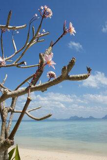 Thailand, Ko Hai Island, Blossoming Tree - GAF00043