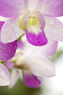 Orchid blossom (Orchidaceae), close-up - GAF00037