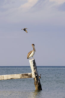 Mexico, Holbox Island, Pelicans sitting on wooden post in ocean - GNF01005