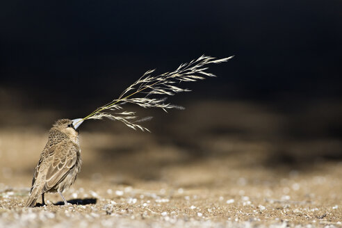 Africa, Namibia, Sociable Weaver (Philetairus socius) with grass in beak for building its nest - FOF00838