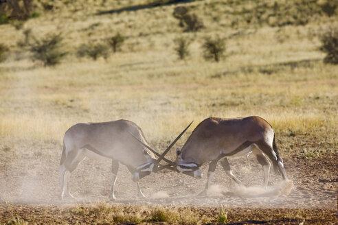 Africa, Namibia, Two gemsbok bulls (Oryx Gazella) sparring - FOF00939