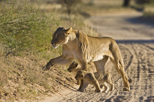 Africa, Namibia, Lioness (Panthera leo) with cubs - FOF00909