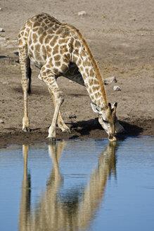Masai Giraffe (Giraffa camelopardalis tippelskirchi)  drinking at waterhole - FOF01097