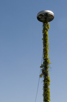 Ivy covered street lamp - AWDF00022
