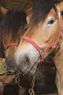 Head of horse, portrait, close.-up - BMF00475