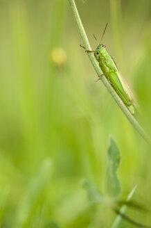 Grashopper (Chorthippus parallelus) sitting on blade of grass, close-up - SMF00421