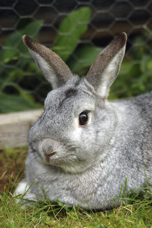 Grey rabbit, close-up - 00463LR-U