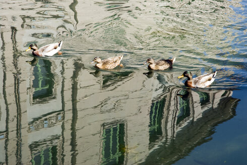 Italy, Milan, Ducks on river, reflections in water - AWDF00188
