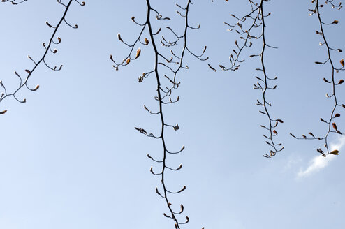 Buds opening on red beech tree, low angle view - AWDF00167