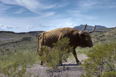 USA, Texas, Dallas, Texas Longhorn Cattle (Bos taurus) - PK00270