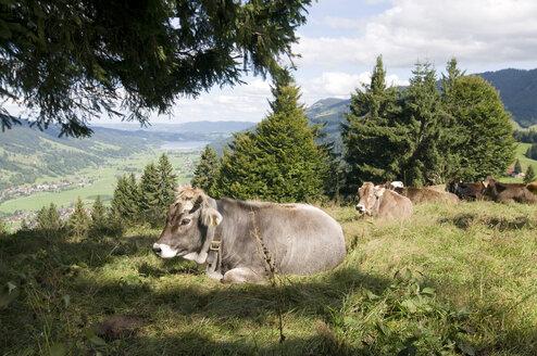 Germany, Bavaria, Allgäu, Cattle resting in grass - GNF01075