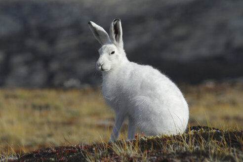 Greenland, Arctic hare, close up - RM00266