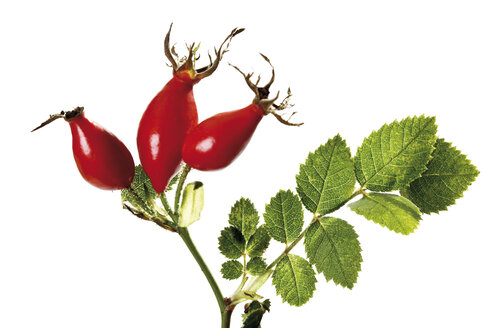 Rose hips (Rosa canina), close-up - 09921CS-U