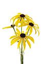 Coneflowers (Rudbeckia fulgida), close-up - 10126CS-U