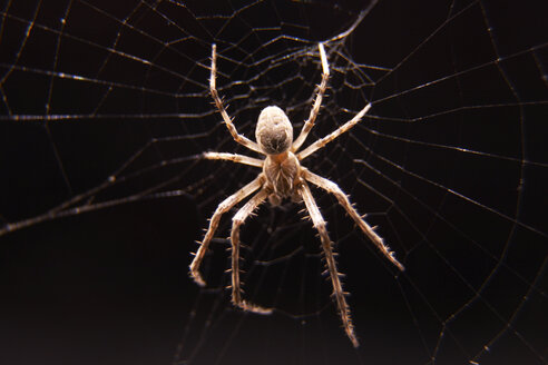 Bridge spider (Larinioides sclopetarius), close up - TLF00281