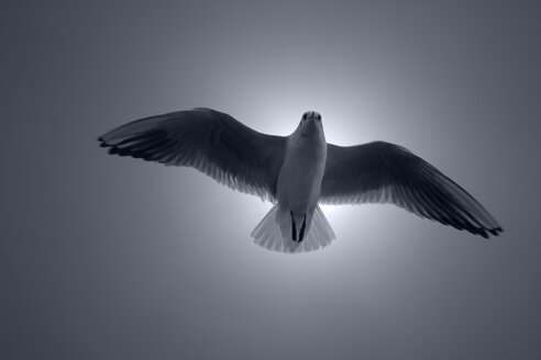 Germany, Seagull against sky, low angle view - TLF00272