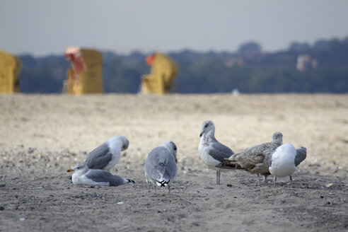 Germany, Baltic Sea, Seagulls on beach, Beach chairs in background - TLF00269
