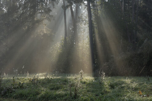 Germany, Bavaria, Sun rays shining through trees - RUEF00121