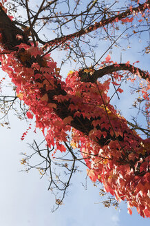 Tree overgrown with Virginia creeper (Parthenocissus tricus), low angle view - MBF00918