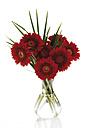Gerbera flowers in glass vase, close up - 10664CS-U