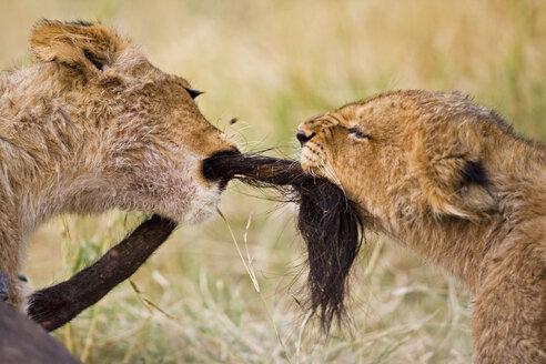 Africa, Botswana, Two lion cubs (Panthera leo) playing - FOF01425