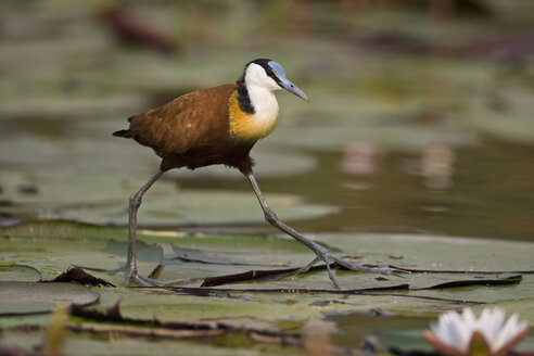 Africa, Botswana, African jacana (Actophilornis africana) hunting for food among lily pads - FOF01419