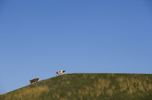 Austria, Salzkammergut, Mondsee, Cattle on pasture against blue sky - WW00803