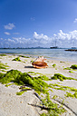 St Vincent, Grenadines, Caribbean, Clifton, Seashell and seaweed on beach - PSF00008