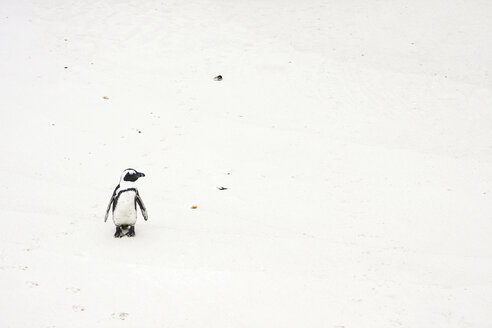 Africa, Cape Town, Boulder Beach, Jackass Penguin (Speniscus demersus) walking along beach - RRF00171