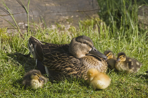 Mallard with ducklings (Anas platyrhynchos) - FOF01496