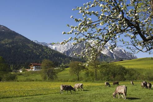 Austria, Tyrol, Kaisergebirge, Cattle herd on mountain pasture - GWF00982