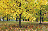 USA, Vermont, Maple trees in autumn - RUEF00183