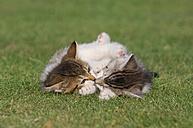Germany, Bavaria, Two kittens lying in meadow - RUEF00165