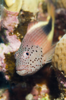 Egypt, Red Sea, Forster's hawkfish (Paracirrhites forsteri) close-up - GNF01121