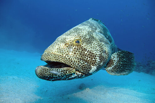 Egypt, Red Sea, Grouper (Epinephelus), close-up - GNF01115