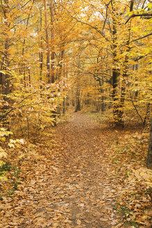 Germany, Rhineland-Palatinate, Wood, leaves, autumn colours - GWF00994