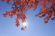 USA, New England, Maple leaves against blue sky - RUEF00221