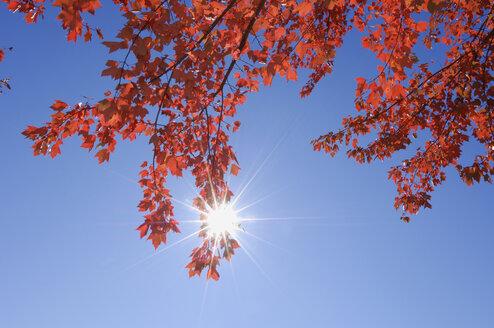 USA, New England, Maple leaves against blue sky - RUEF00221