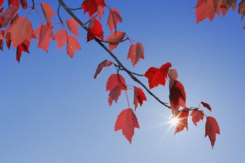 USA, New England, Maple leaves against blue sky - RUEF00218