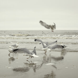 Germany, Sankt Peter Ording, Seagulls at seashore - TLF00309