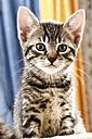Domestic cat, kitten, portrait, close-up - 11375CS-U